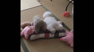 Puppy Looks like Stuffed Animal