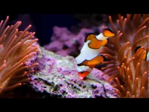 Clownfish Fish playing with Laser pointer