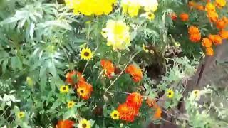 видео Санвиталия - выращивание из семян в саду