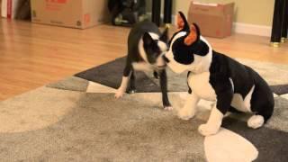 Boston Terrier Meets Stuffed Boston Terrier