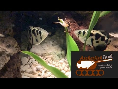 Fiddler Crabs Introduced To Archerfish Aquarium