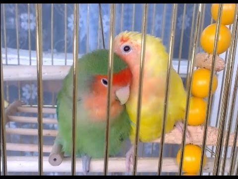 Lovebirds preen each other, Love birds kissing part 2