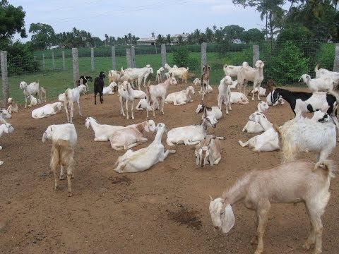 A true story profitable goat farm