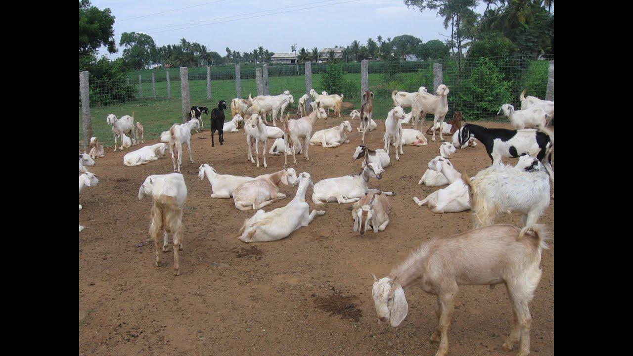 R Goats Good Pets A true story profitabl...