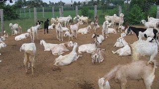 A true story profitable goat farm