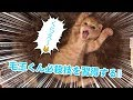 [子猫]毛玉ねこパンチを習得した毛玉くん[kitten,cat]