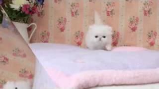 Blue-eyed White Persian Kitten for sale