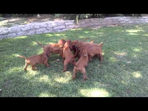 Irish Setter puppies play tug-of-war
