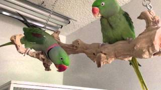 "Alexandrine Parrots ""Over The Moon:"" About Thanksgiving Dinner. My Happy 32 Yr Old Birdies!"