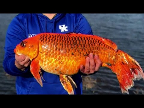 Muss - Don't Flush Live Goldfish! Man Catches 20-Pounder From Lake!