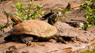 Tortoises sunbathing by the pond, Chelidae, Reptile, Chelonian, Animals of flooded regions,