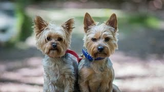 Beryl & Daisy - Yorkshire Terriers - 4 Week Residential Dog Training At Adolescent Dogs