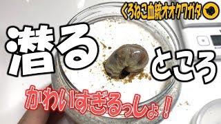 クワガタ&カブトムシ 穴に潜っていく幼虫がかわいいんだがw】(くろね...