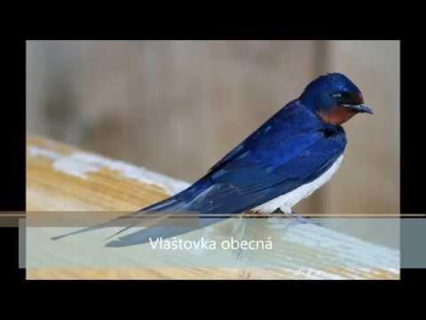 Ptáci České republiky, Pěvci