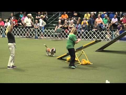 Diesel the Basset Hound at the 2015 AKC Agility Invitational