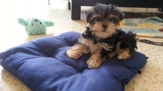 2 Month Old Morkie Puppies Playing
