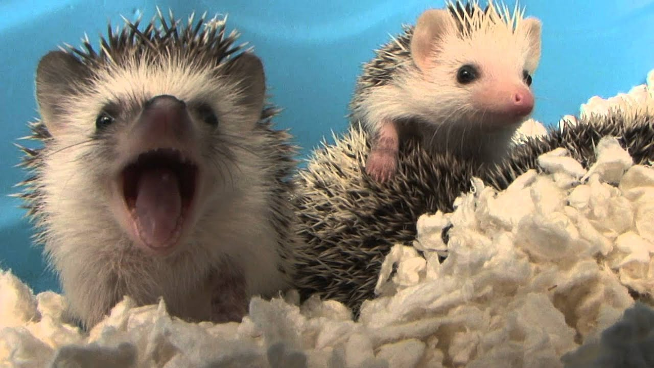 Baby Live Wallpaper Hd Baby Hedgehog Yawns Hd Original Youtube