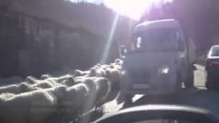 Овцы(В одном из горном аулов автолюбителей настигло внезапное нашествие местных овец. Ни один автолюбитель..., 2014-12-21T17:11:17.000Z)