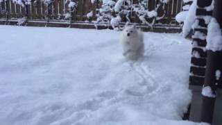 日本スピッツのシャチがお庭に積もった新雪を慎重に歩きます☆ だんだん...