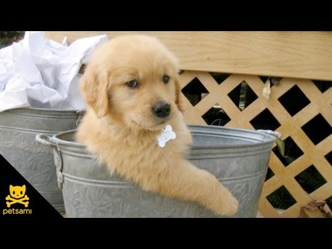 Dog tries to cool off in a tiny bucket