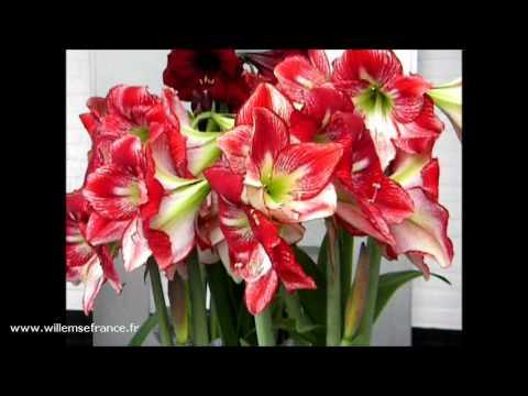 Les amaryllis fleurs g antes willemse youtube for Les fleurs amaryllis