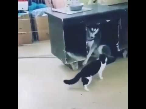 Funny Cat Attacks Clumsy Husky Dog For Yelling At Her