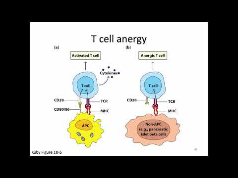 Immunology Fall 2019 Lecture 21: T Cell Activation And CTLs