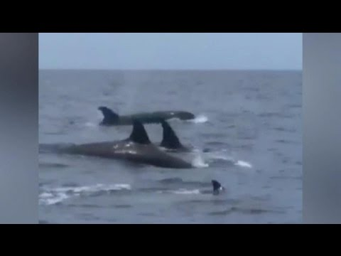 Watch: Orcas spotted in Gulf of Mexico