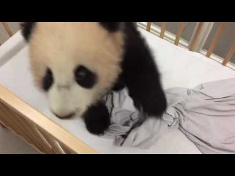 Panda cub Tian Bao, 5 months, wants to follow caretaker around - Pairi Daiza (Belgium)