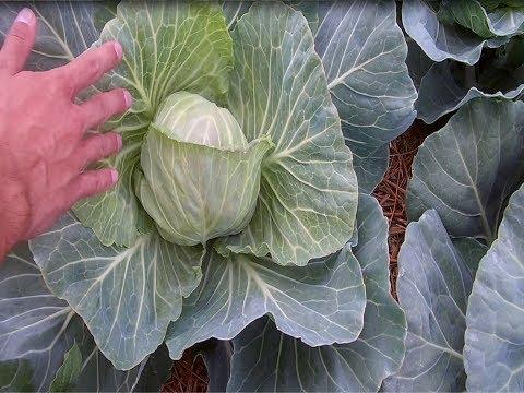 видео: Как вырастить капусту без приминения химических препаратов / Экологически чистая капуста
