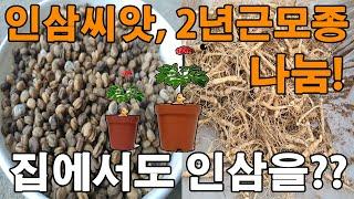 인삼씨앗, 모종 나눔합니다. 가정에서 관상용으로?? 장…