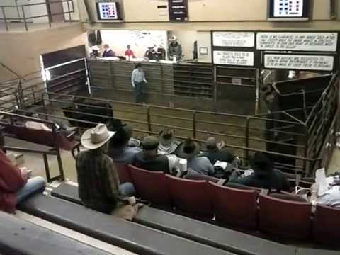 Livestock Auction In Clovis New Mexico Youtube