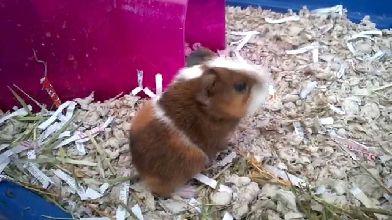 Baby Guinea Pigs! - YouTube