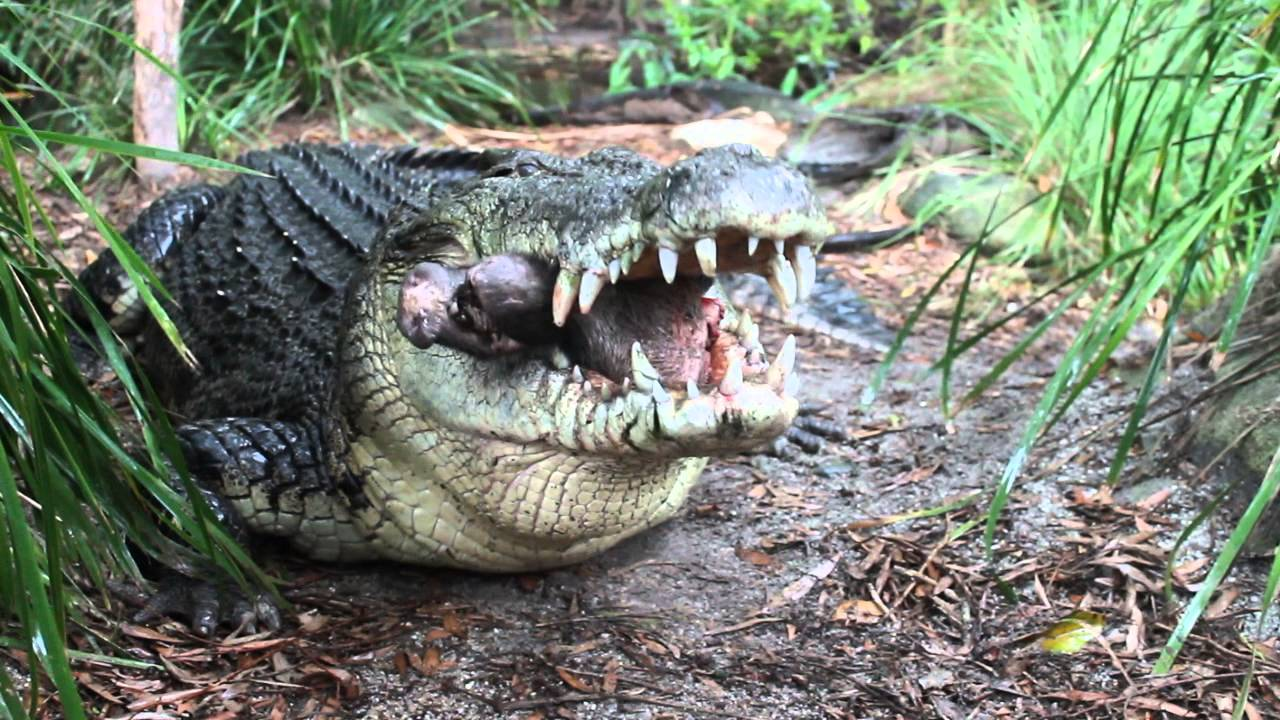 What eats saltwater crocodiles?