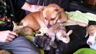 Staffordshire Bull Terrier Attacks Baby Rabbits!