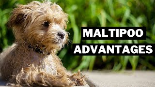 10 BEST ADVANTAGES of Having a MALTIPOO THAT YOU NOT KNOW