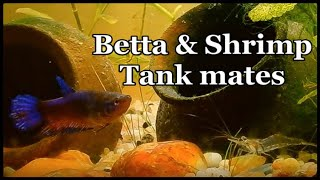 Community Tank for Betta Fish with compatible Tank Mates