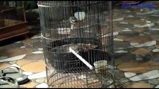 Download Mp3 Burung Kipasan Jawa Sikatan Jawa Tarung Untuk Pancingan Biar Gacor