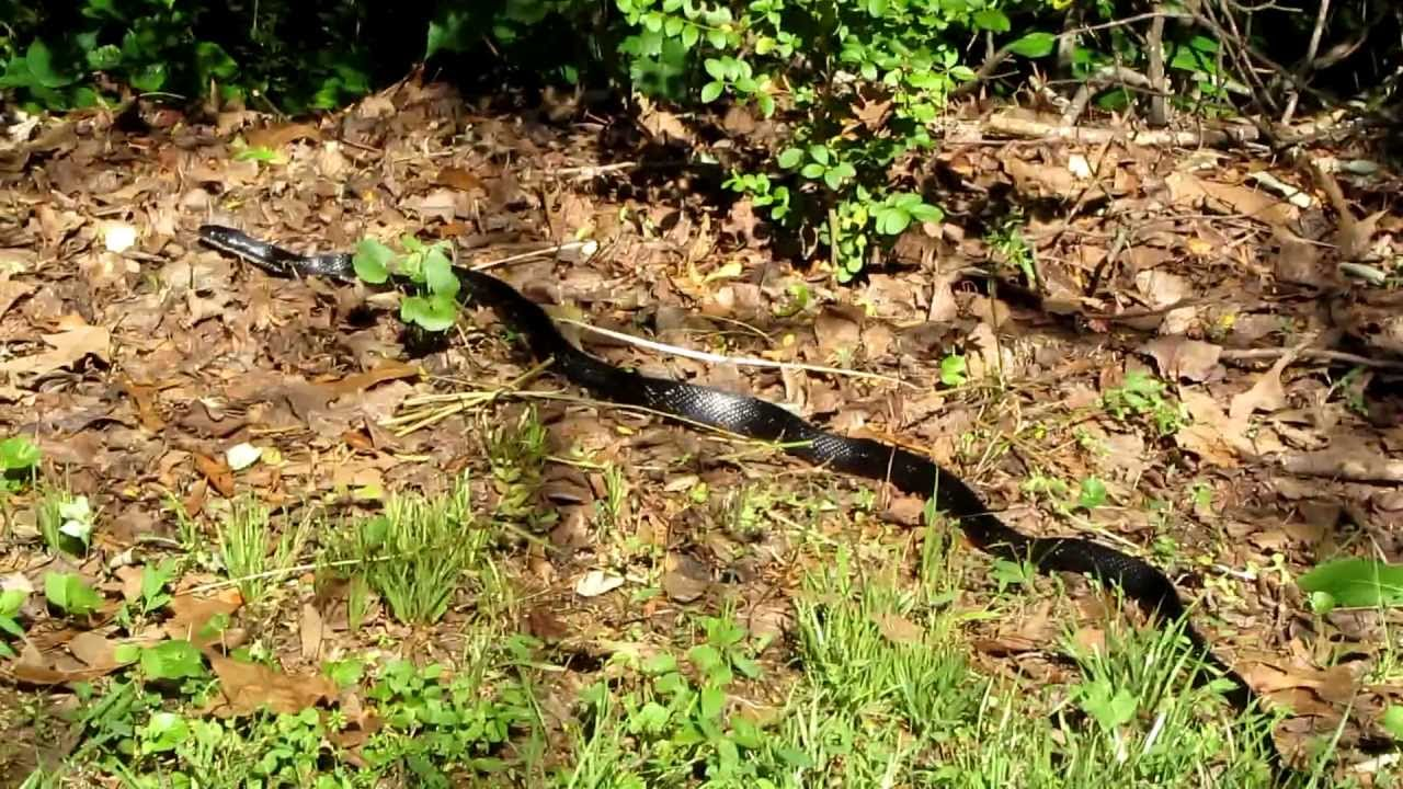 Black Racer Snake In GA