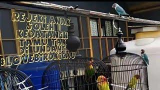 Lovebird Ngetik Ngetik Ngekek Ampuh Pancing Lovebird Yang Kurang