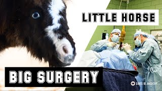 Tiny Horse Gets a HUGE Surgery