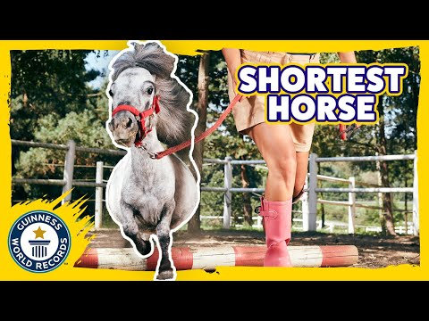 Shortest Horse in the world!   Bombel - Meet The Record Breakers
