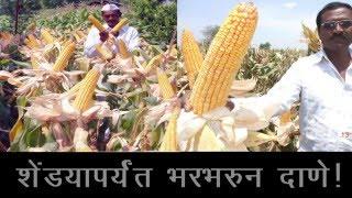 Daftari Seed - Maize (Marathi)