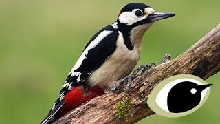 BTO Bird ID - Great & Lesser Spotted Woodpeckers
