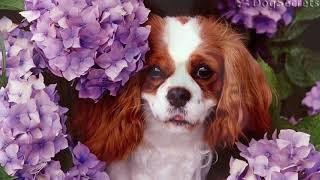 Моя любимая порода собак   Кавалер кинг-чарльз-спаниель