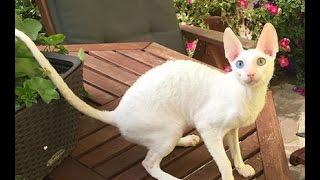 Корниш рекс - мальчик белый с разноцветными глазами - по кличке Дарлинг .
