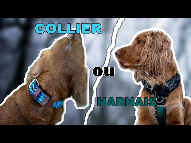 Harnais ou collier ?! | Mon avis