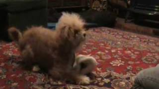 Clicker Training: Maya Learns How To Roll Herself In A Blanket--even NEWER VERSION!