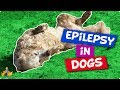 Epilepsy In Dogs: 9 facts you NEED to know