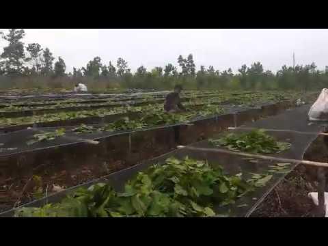 Kratom plantation